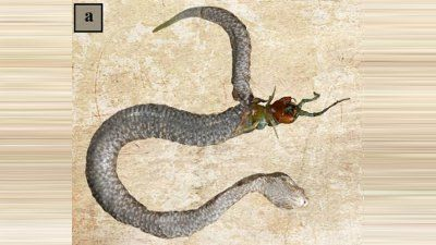 Centipede tears through viper's stomach after being swallowed alive – Metro